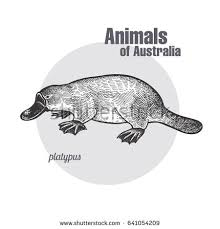 platypus duckbill hand drawing animals australia stock vector