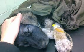 dog euthanasia dear bosnia herzegovina euthanasia will not fix your stray dog