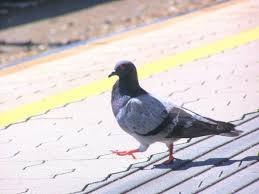 tauben auf dem balkon frag mutti tauben auf dem balkon loswerden vogelscheuche oder