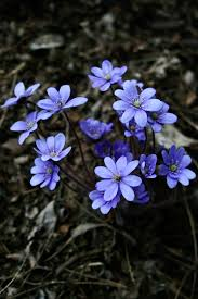 free images nature forest flower purple petal spring blue