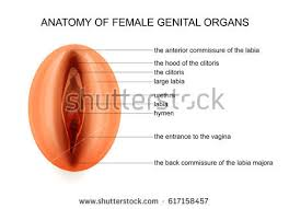 Perineum Anatomy Female Perineum Stock Images Royalty Free Images U0026 Vectors Shutterstock