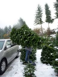 u cut christmas trees seattle christmas lights decoration