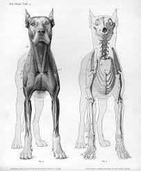 Dog Anatomy Poster Best 20 Animal Anatomy Ideas On Pinterest Dog Anatomy Dog