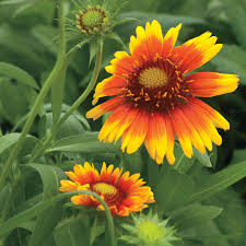 native arizona plants arizona sun blanket flower seeds from park seed