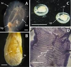 sp cialit africaine cuisine when biology meets taxonomy clavelina oblonga ascidiacea