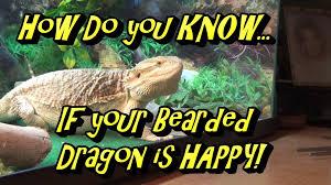 Seeking Lizard How Do You If Your Bearded Is Happy