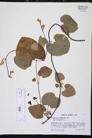 native plants of alabama aristolochia tomentosa species page isb atlas of florida plants