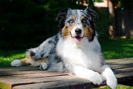 lifespan of a bluetick coonhound australian shepherd dog breed information pictures