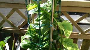 growing asian spinach youtube