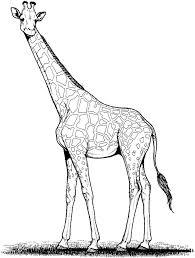 giraffe drawing google search giraffe quilt pinterest