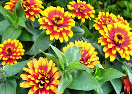 plants native to illinois marigold flowers don u0027t have to be boring they come in a variety