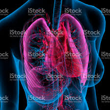 xray view of chest lungs bronchial tree anatomy stock
