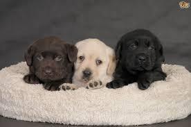 predicting the colour of labrador retriever puppies pets4homes