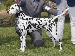 dalmatian dog spotters