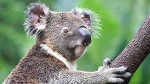 High Koala Meme - koala