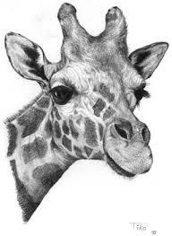 drawn giraffe pencil sketch pencil and in color drawn giraffe