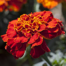 marigold seeds buy african u0026 french marigolds annual flower seeds