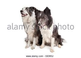 australian shepherd or border collie border collie australian shepherd dog lying down on white