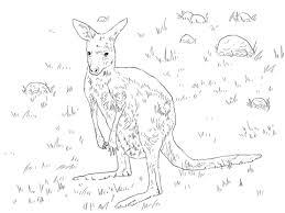 young eastern grey kangaroo coloring page free printable