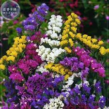 statice flowers pacific flowers promotion shop for promotional pacific flowers on