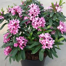 Fragrant Patio Plants Daphne Fragrant Collection J Parker Dutch Bulbs