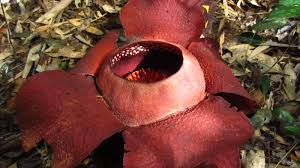 largest flower in the world hunting rafflesia the world s largest flower khao sok national