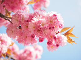 Japanese Cherry Blossom Tree by Free Images Tree Branch Fruit Flower Petal Bloom Food