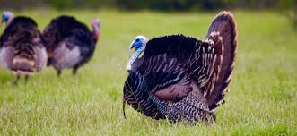 the best turkeys for thanksgiving in kitsilano kitsilano ca