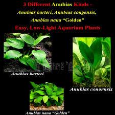 aliexpress com buy fish tank live aquarium plants seeds anubias