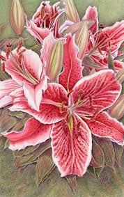 Asian Lilies Colored Pencil Paintings By Artist Kristy Kutch