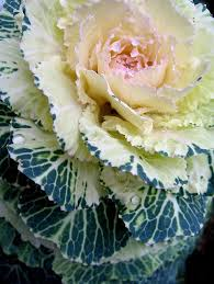 50 best cabbage and kale images on ornamental cabbage