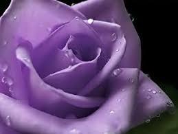 purple roses 5 purple rosa bush shrub perennial flower seeds
