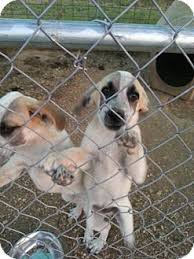 is a bluetick coonhound a good pet jessup adopted puppy springfield mo bluetick coonhound