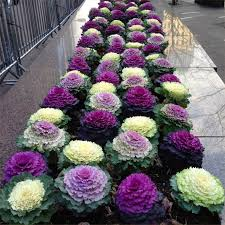 brassica cabbage selection pack of three plants