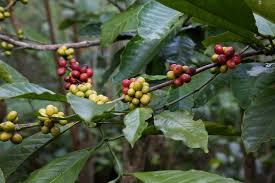 kopi luwak the world u0027s most expensive coffee