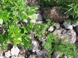 a species of native plant native plant species for the reclamation of uplands cemi