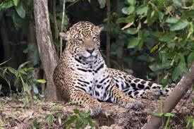jaguar jaguar adaptations