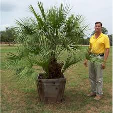 mediterranean fan palm tree glen flora farms texas wholesale trees plants list