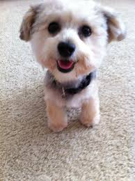haircut for morkies 20 best morkie haircuts images on pinterest little dogs puppys
