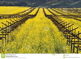 Yellow Mustard Color Yellow Mustard Bloom In Napa California Stock Photo Image 8455160
