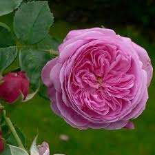 china with roses gertrude jekyll and roses
