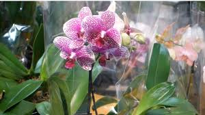 orchids pictures phalaenopsis orchids watering lighting and fertilizing