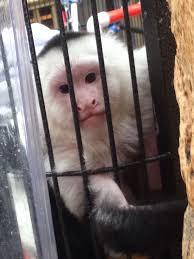 she shack monkey shack panama city beach florida if you buy a monkey