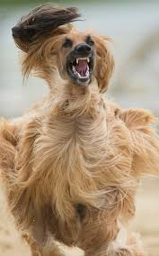 afghan hound breeders europe afghan hound racers prove there u0027s more to the breed than luxuriant fur