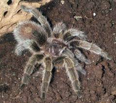 10 best tarantula images on pet tarantula amphibians