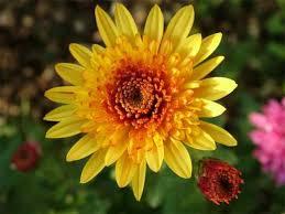 Flower Com November U2013 Birth Flower Com