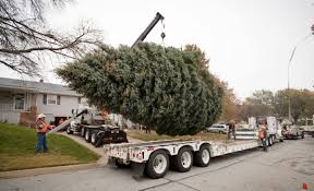 photos 40 foot blue spruce makes the trek downtown to become