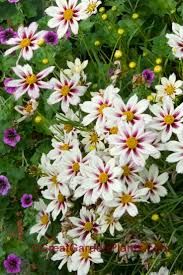 Plants Blooming Best 25 Yellow Perennials Ideas Only On Pinterest Black Eyed