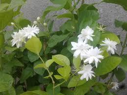 Fragrant Jasmine Plants Jasmine Plant Pictures To Pin On Pinterest Thepinsta