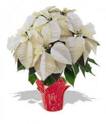 white poinsettia poinsettia large white pa wht lrg 48 00 the nature